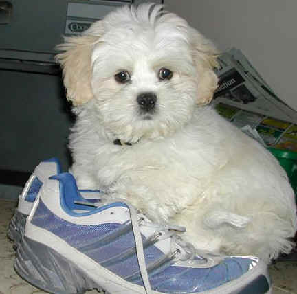 My little white dog sitting on my track shoes, protesting as he refused to go jogging with me
